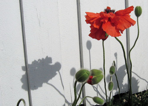 365:: 12-05 :: poppy :: valmue