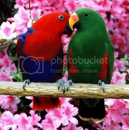 Love Birds Playing Graphics Myspace