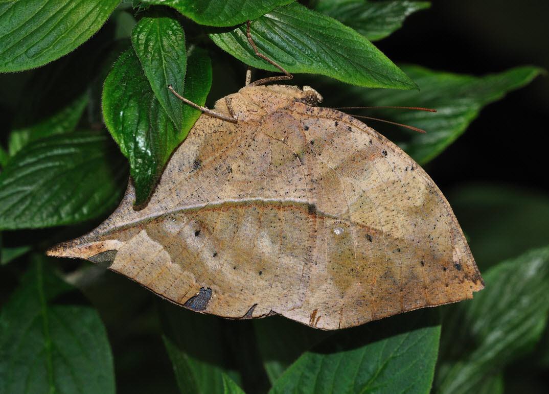 borboleta-folha