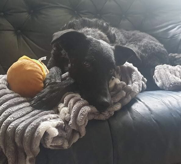 Chase – 5 year old male Cross-Breed