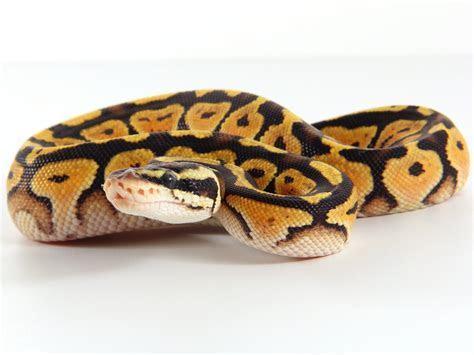 Baby Ball Python Care Sheet (Python regius)   The Gourmet Rodent