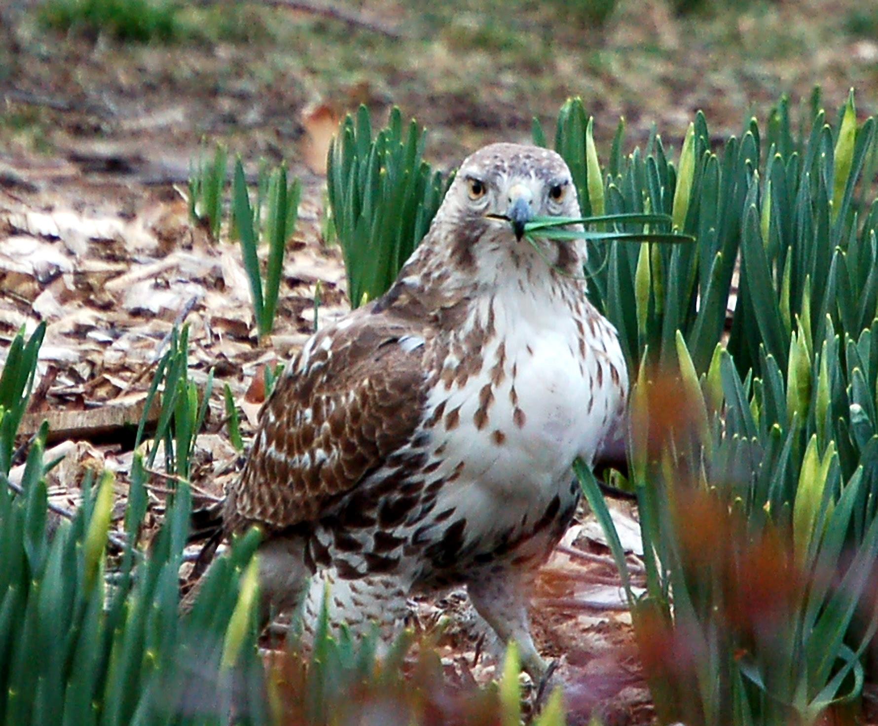Hawk vs daffodil