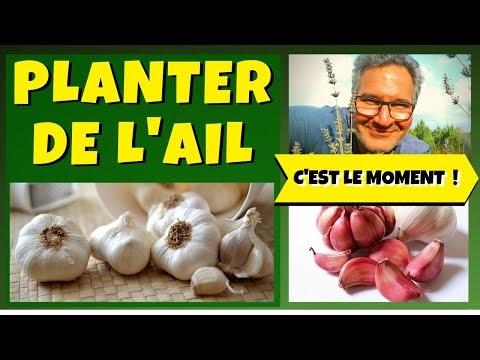 GONANISSIMA: Comment planter de l'ail du commerce