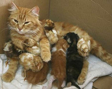 Kitty mother looking after baby chickies
