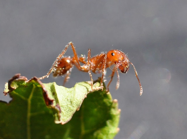 How to Get Rid of Fire Ants - Pestkilled