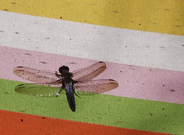 dragonfly on hammock3