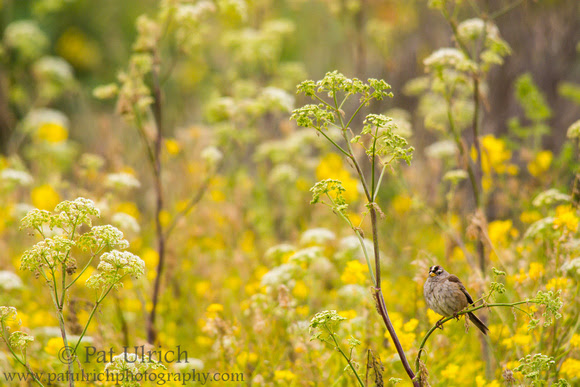 White-crowned sparrow in a sea of wildflowers in Point Reyes National Seashore