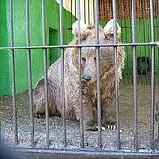 Ursus arctos isabellinus (in Perm Zoo).jpg