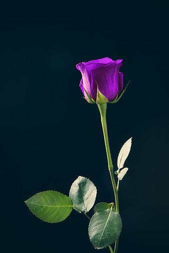 紫バラのスマホ壁紙 検索結果 1 画像数405枚 壁紙com