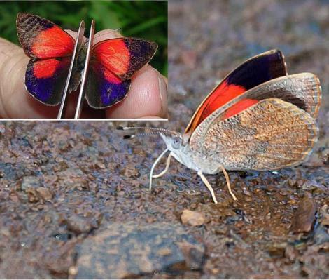 Por: ecoregistros.com.ar e neotropicalbutterflies