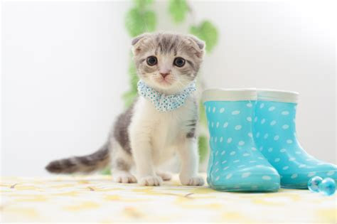 31Cute Scottish Fold Cat Photos ? WeNeedFun