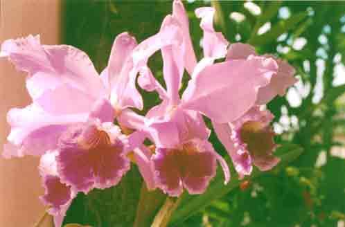 09 - Orquídeas Lélias