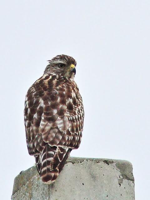 Red-shouldered Hawk juvenile 3-20130803