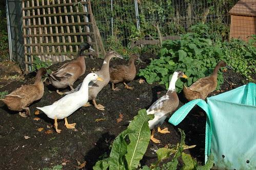 ducks Oct 12 3