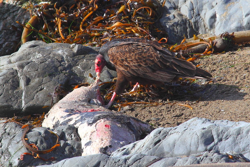 IMG_5424 Turkey Vulture Scavenging Seal