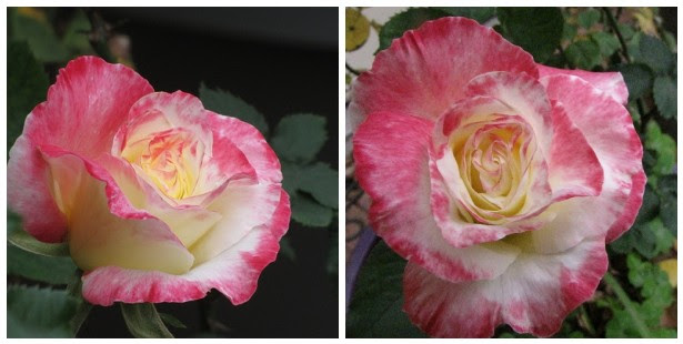 Double Delight Rose Mosaic