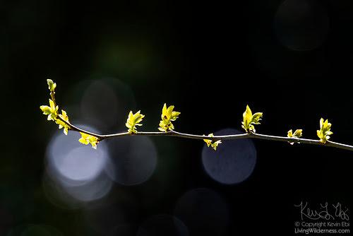 New Leaves on Alder Branch, Snohomish County, Washington