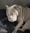 Al momento de adoptarlo un pitbull destroza su chaqueta pero él decide que lo quiere aún más