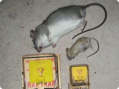 Mouse Vs. Rat   How to Tell The Difference