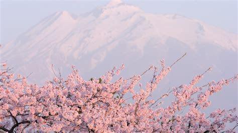 Sakura Flower 20975 1920x1080 px ~ HDWallSource.com