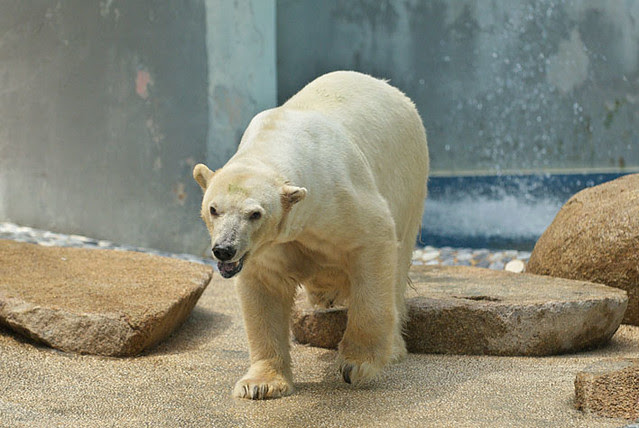 Sheba, Singapore Zoo's polar bear