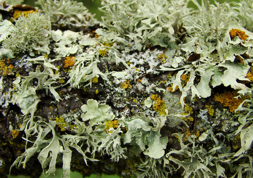 DSC04146  Lichen detail