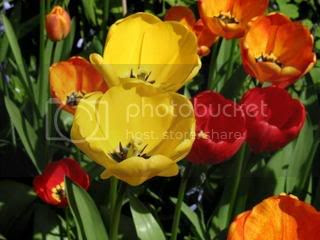tulips Pictures, Images and Photos
