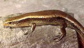 Eutropis multifasciata also known as the East Indian brown mabuya, or common sun skink