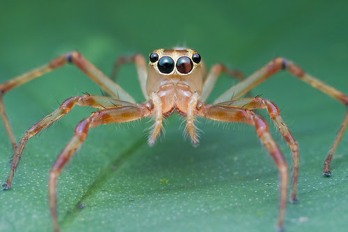 female Bathippus sp. jumping spider IMG_2978 copy