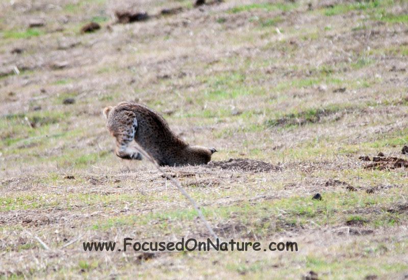 Bobcat Pouncing - 1