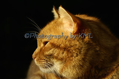 the profile of an orange cat in the evening light