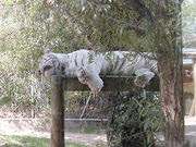 White tiger at the ZooParc de Beauval in France