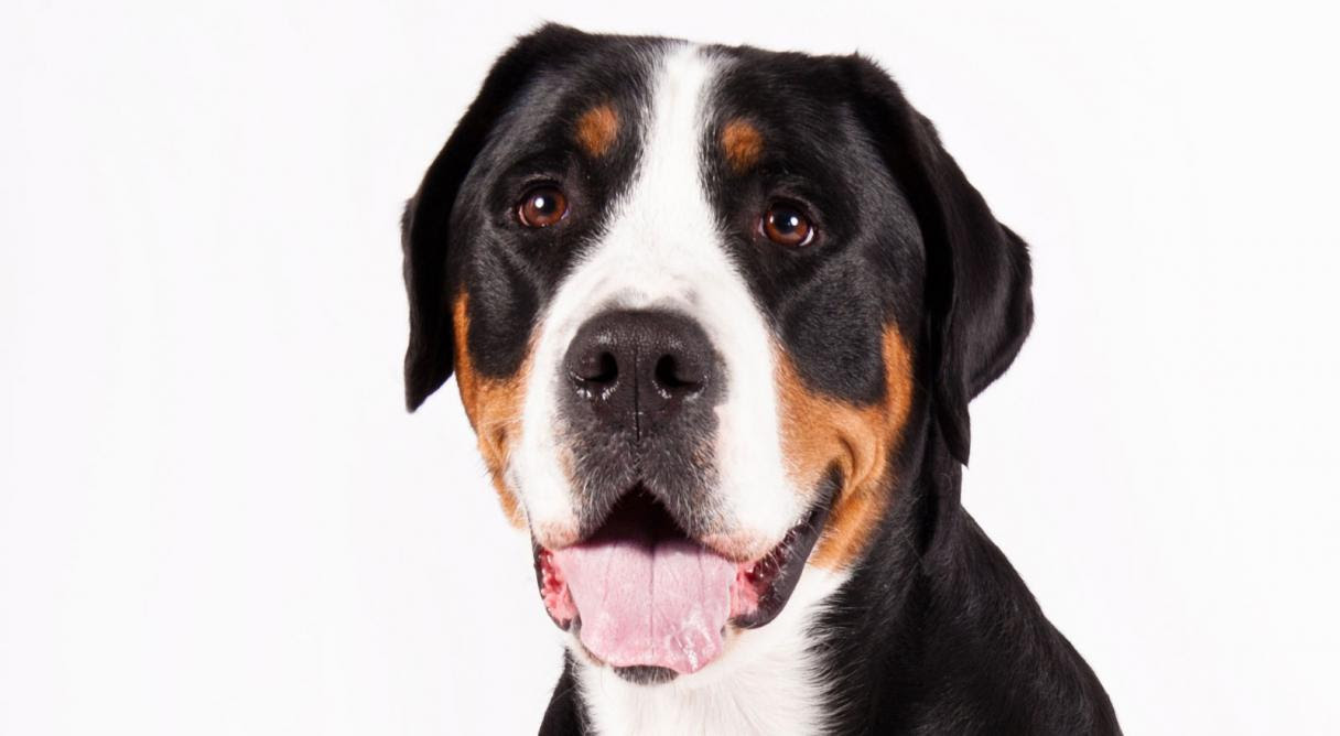 Greater Swiss Mountain Dog Breed Information  American Kennel Club