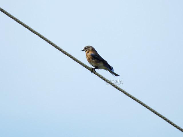 IMG_2890Bluebird