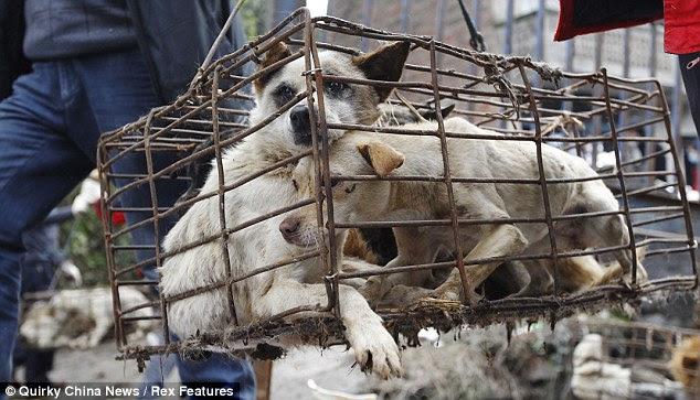Um cão é para a vida, não apenas para o almoço: O caminhão cheio de cães enjaulados estava indo para restaurantes carne de cachorro