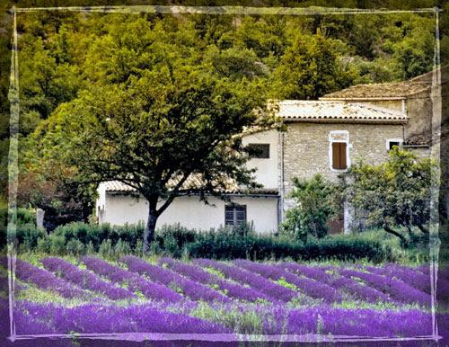 lavender-farm.jpg