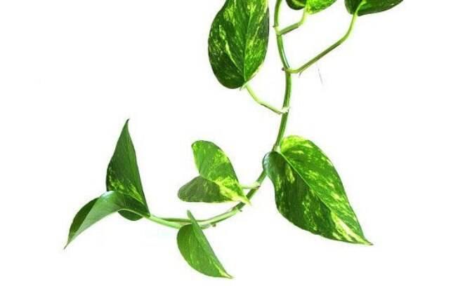 A planta Jibóia é resistente, não requer grandes cuidados e é utilizada normalmente em escritórios