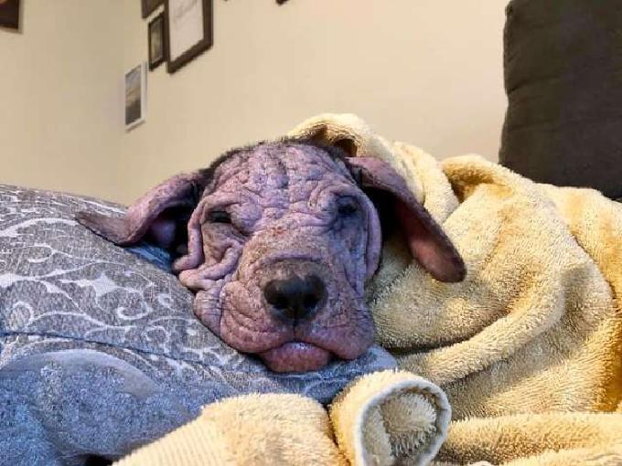 La triste historia de 5 pobres cachorros calvos que fueron abandonados en plena calle