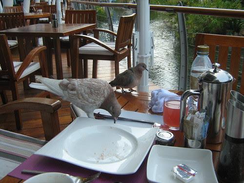 Pigeons eating dad's food