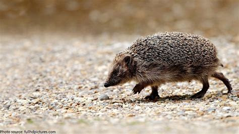 Interesting facts about hedgehogs   Just Fun Facts