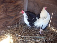 Columbian Bantams
