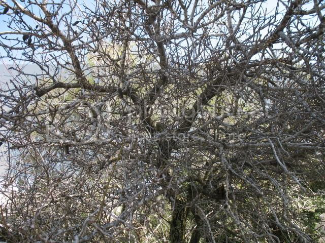 searching for almond blossoms 4