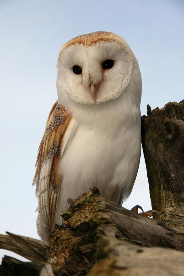 19 Inspirational Barn Owl Wingspan - Get New Home Design