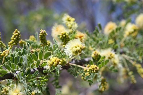 Cat Claw Acacia (I think)