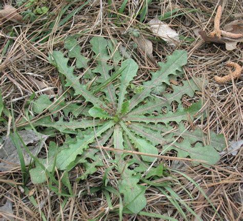 Edible Wild Plants ? Dandelion Greens   Sensible Survival