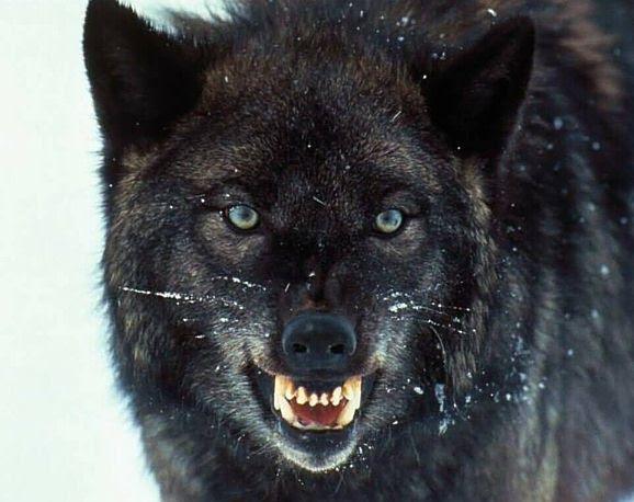 Der Betawolf