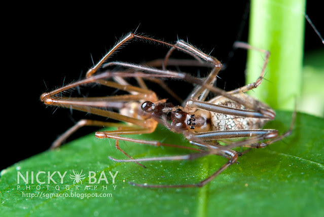 Big-Bellied Tylorida Spiders (Tylorida ventralis) - DSC_3761