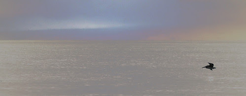 Pelican alone