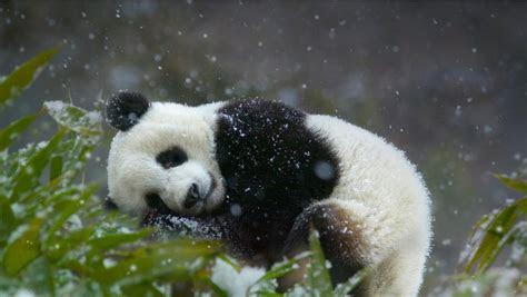 gambar panda lucu  asal usul panda koleksi