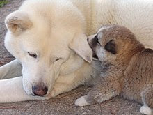 Akita Inu and Puppy